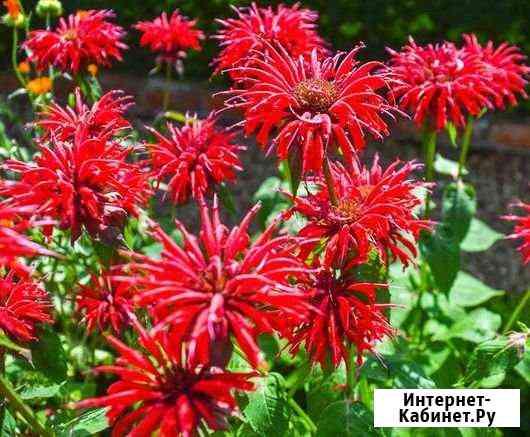Многолетние цветы- флоксы, манарда, ирисы Тюмень