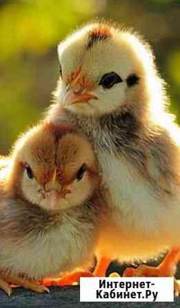 Цыплята домашние Ивантеевка