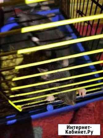 Крысята Белгород