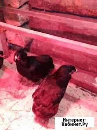 Инкубационное яйцо породы кур Аруканы Брянск