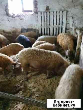 Мангалица племенные свинки и хряки Сергиевск