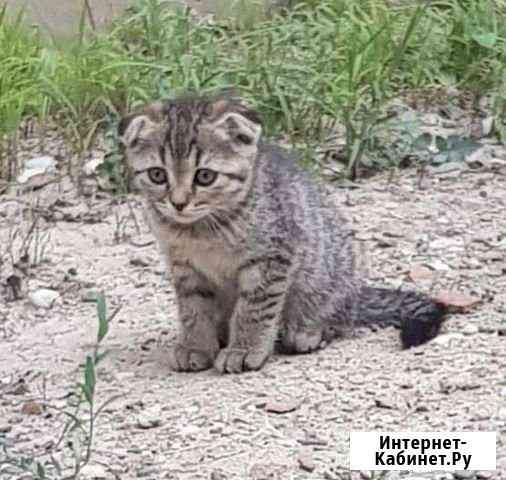 Котята английской гладкошерстной породы Грозный