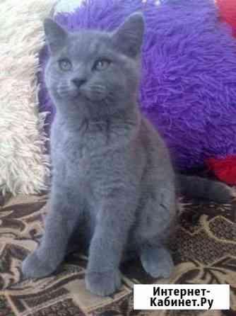 Британский котик Санкт-Петербург