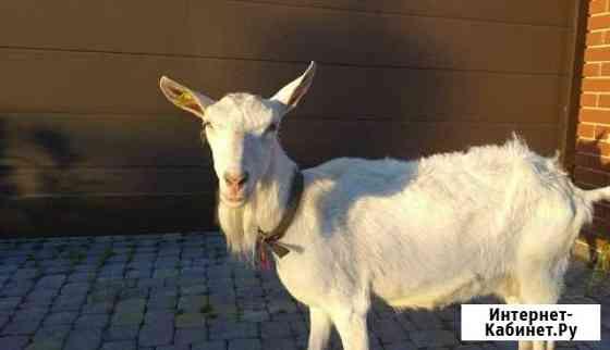 Продаю козу Зааинскую Казань