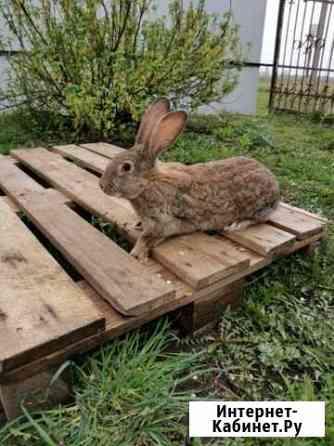 Кролик мясной породы Железногорск