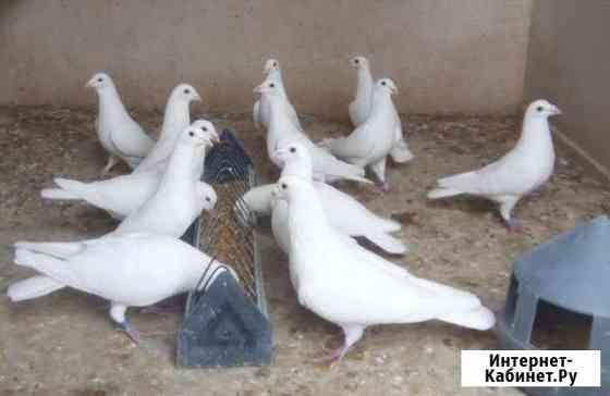 Белые спортивные голуби Дзержинск