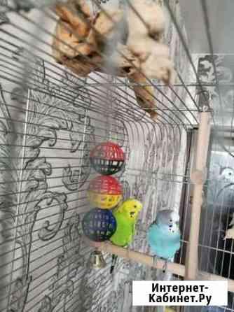 Волнистый попугай Тула