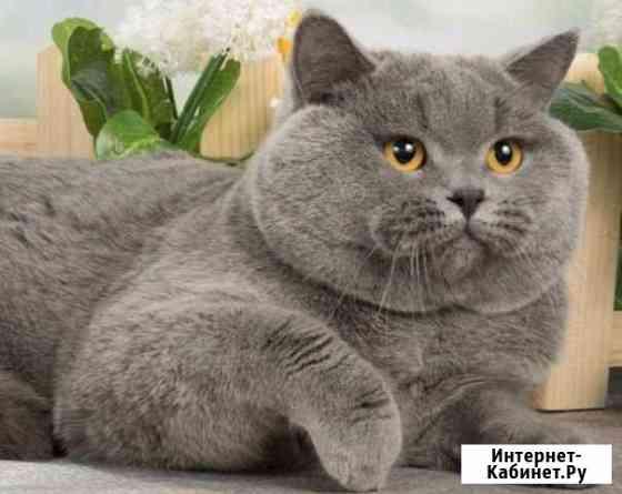 Котик вязка шотландец Обнинск
