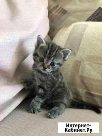 Котёнок британский Вологда