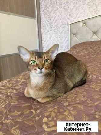 Абиссинская кошечка Тюмень
