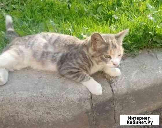 Нежного цвета котёнок девочка Хабаровск