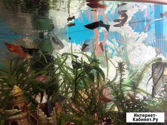 Рыбки-моллинезии Ижевск