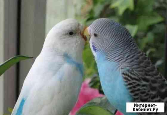 Волнистые попугаи Курган