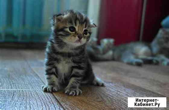 Шотландские котята Псков
