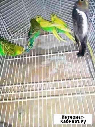 Волнистые попугаи, птенцы Ульяновск