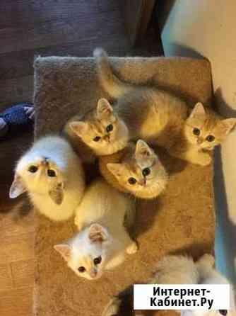 Британские котята Тверь