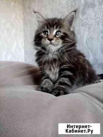 Мейн кун. Котята Фершампенуаз