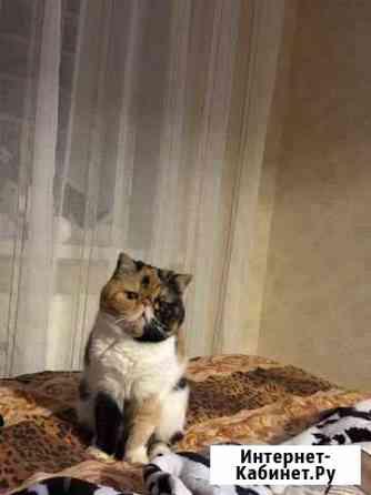 Кошка экзот Ижевск