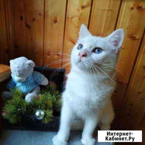 Британский поинтовый котенок Москва