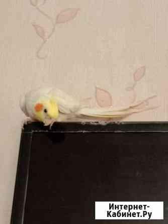 Продается попугай Белая Калитва