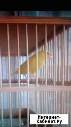 Певчие птицы. Канарейки Курган