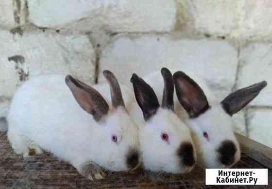 Кролики калифорнийцы Бахчисарай