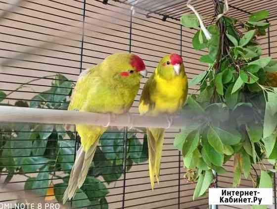 Новозеландские краснолобые попугаи(Какарик) Тула