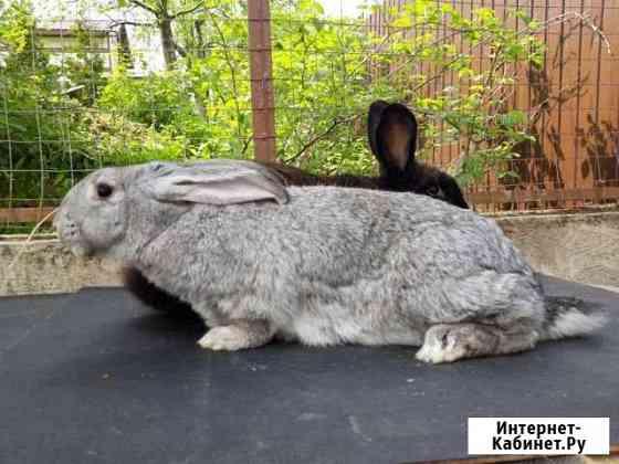 Кролики Кременки