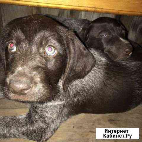 Собака породистая Горно-Алтайск