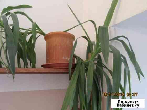 Растение декоративное, юкка Москва