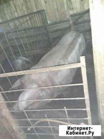 Продаются Свиноматки Венгерской породы Чалтырь