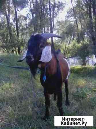 Нубийский козел Уфа
