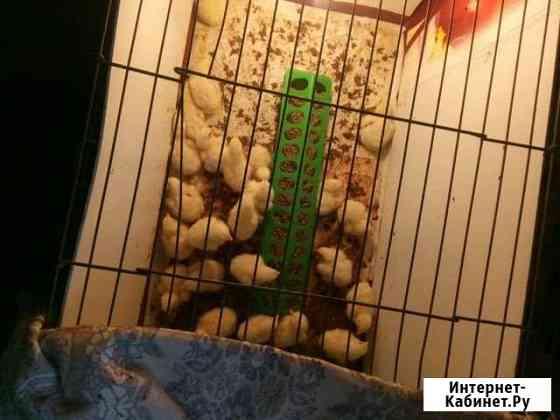 Цыплята Тюмень
