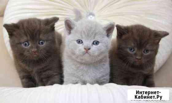 Британские котята от Иркутского питомника Иркутск