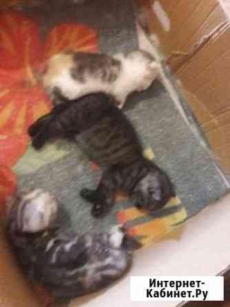 Продам шотландских котят Красноярск