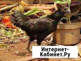Куры питухи Орёл