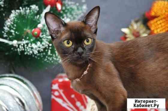 Бурманские котята Хабаровск