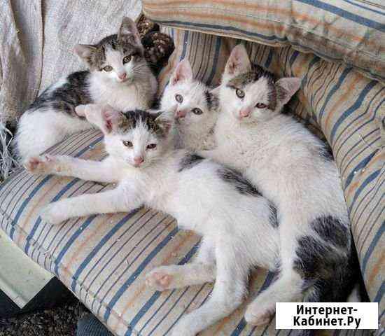 Котята от кошки-крысоловки Йошкар-Ола