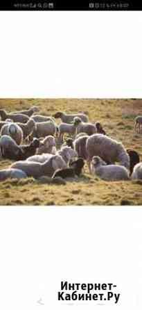 Бараны овцы Свободный