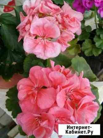 Пеларгонии разных цветов Кострома