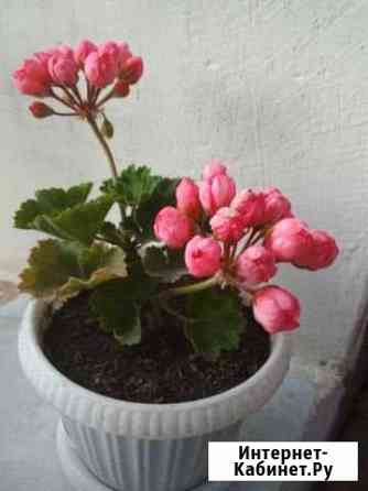 Герань тюльпановидный Бирск