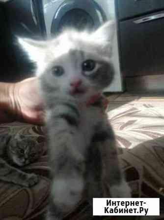2 котенка от британской кошечки Тамбов