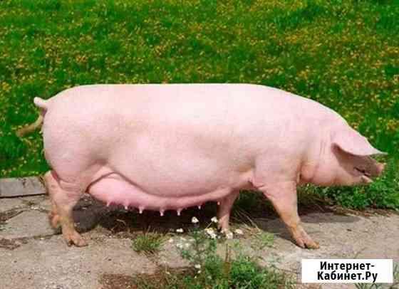 Племенные супоросные свиноматки Стерлитамак