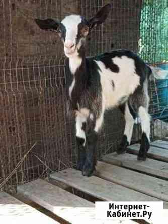 Продам коз, маленькие:3 мальчика, 1 девочка. Больш Липецк