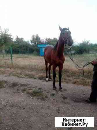 Лошадь Новокубанск