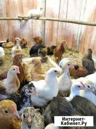 Куры, цыплята Екатеринбург