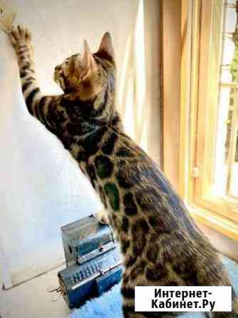 Бенгальский котик с отличной родословной Санкт-Петербург