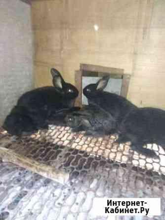 Кролик Белореченск