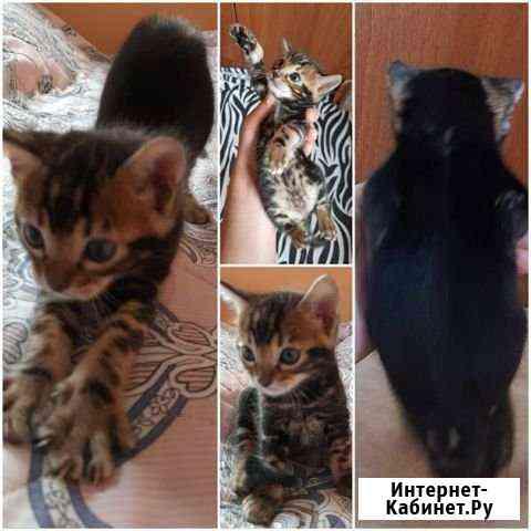 Бенгальские котята Калининград