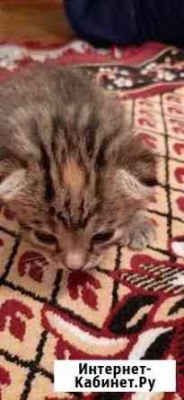 Кошка Майкоп